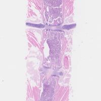 21-Mouse-Sternum-hematoxylin-eosin-staining-e1410266699947