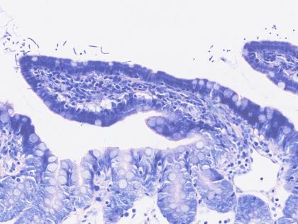 Rat-Digestive-system-Giemsa-800x800-420x315