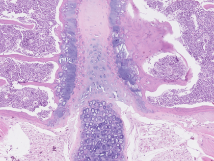 mouse-sternum-hematoxylin-eosin-420x315