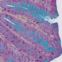 Rat-digestive-system-pentachrome-movat-staining-e1430807961204